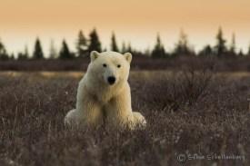Young polar bear in the willows at Nanuk. Steve Schellenberg.