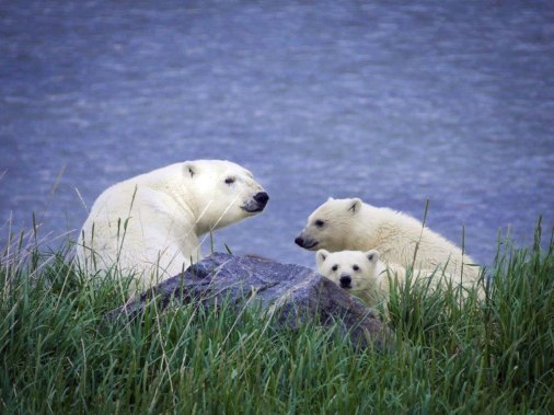 Mom and cubs on the shore at Seal River. Jad Davenport.