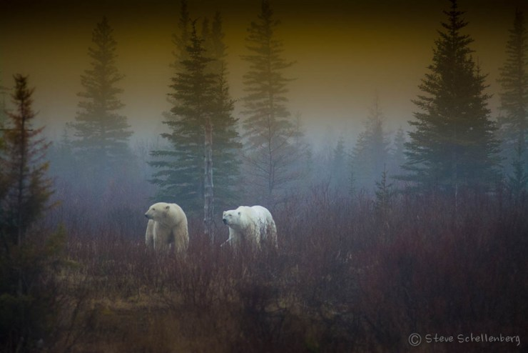 Polar bears in the mist at Nanuk. Steve Schellenberg.