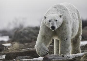 Polar bear walks towards us at Seal River. Robert Postma.