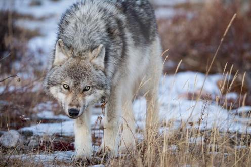 Wolf warning at Seal River. Robert Postma.