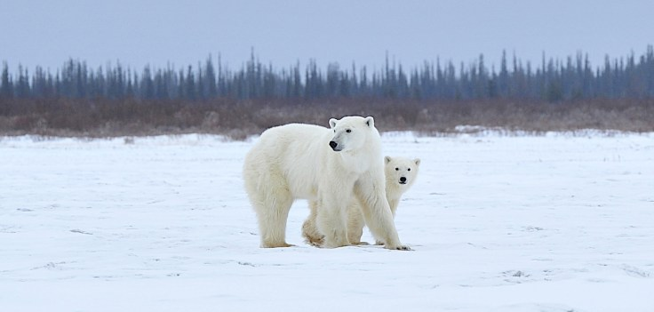 PolarBearMomCubNanuk