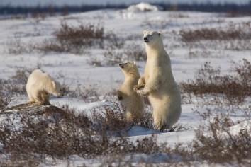 polarbearcubs3poliza