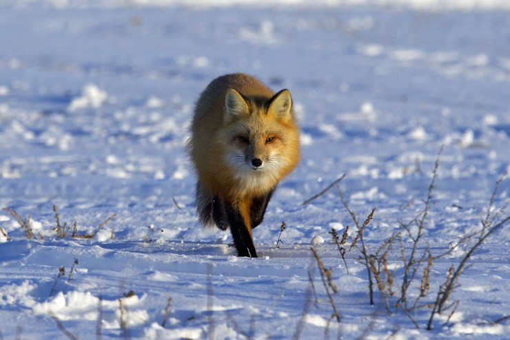 Red fox at Nanuk. Andy Skillen photo.