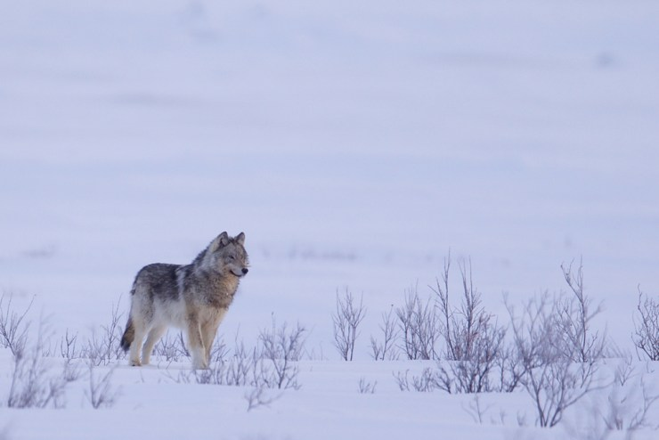 Wolf at Nanuk Polar Bear Lodge. Andy Skillen photo.