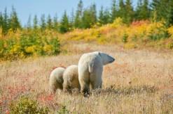 polarbearswalkingtonyyang