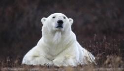 1st Place. Polar Bears. Sheree Jensen.