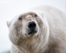 2nd Place. Polar Bears. Andrew Lasken.
