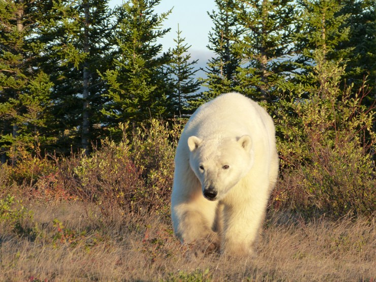 Polar bear emerges from the taiga.