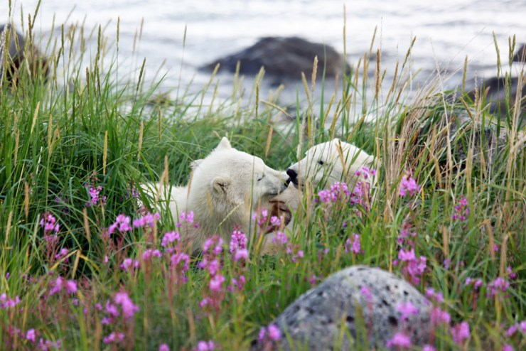 Polar bear cubs playing in the grass at Seal River Heritage Lodge.