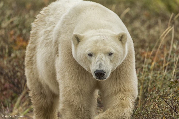 Polar bears walks towards us at Nanuk Polar Bear Lodge. Robert Postma photo.