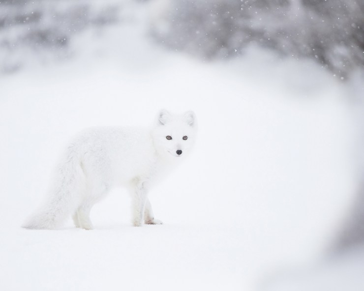 Arctic Fox at Seal River Heritage Lodge. Ruth Elwell-Steck photo.