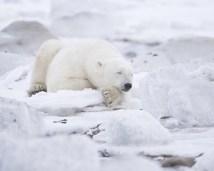 polarbearbearsleepingruth