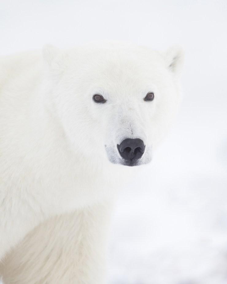 Polar bear close-up at Seal River Heritage Lodge. Ruth Elwell-Steck photo.