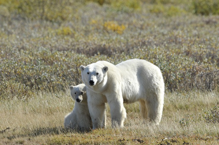 Polar bear Mom and cub at Nanuk. Ian Johnson photo.