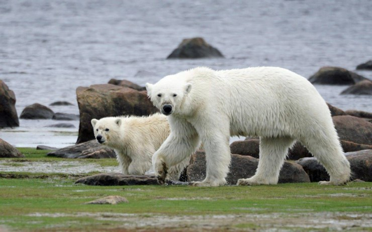 Mom and COY (cub of the year) on the shores of Seal River. Denae D'Arcy photo.