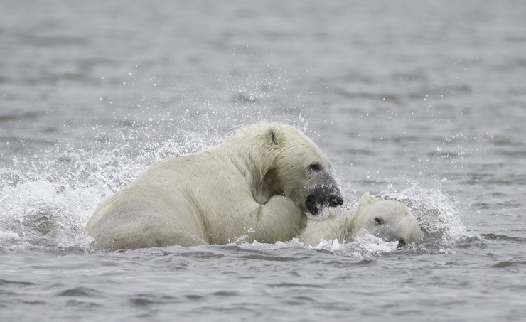 Polar bears don't hibernate in the summer! Photo by Charles Glatzer.