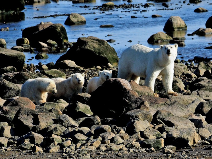 Rare polar bear triplets spotted at Seal River Heritage Lodge. Quent Plett photo.