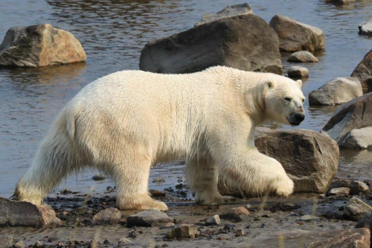Polar bear gives us a wary look while walking along the bay. Judith Herrdum photo.