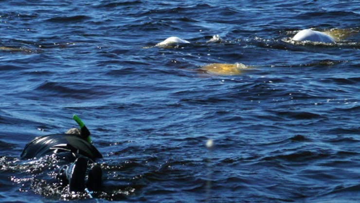 Snorkeling with beluga whales, Churchill Wild-style. Here they come!