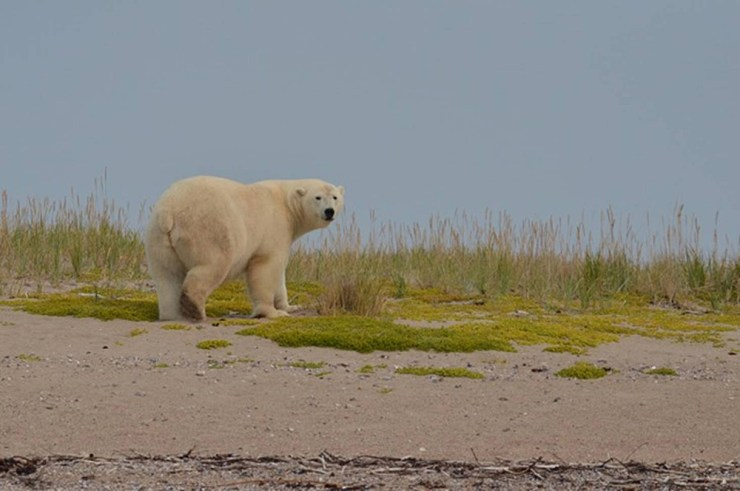 Polar bear says goodbye from the beach. Anne Kiel photo.