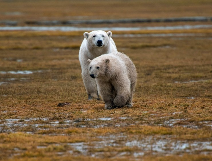 Curious polar bear club approaches at Nanuk. Crai Bower photo. Instagram @CanadaFiles Web: FlowingStreamMedia.net