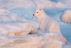 Arctic fox. Seal River Heritage Lodge. Photo by Marc Latremouille.