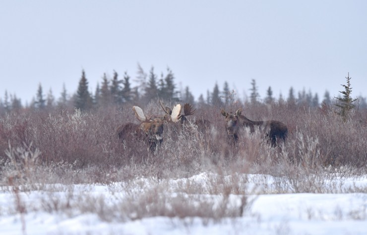 Moose in the willows at Nanuk Polar Bear Lodge.