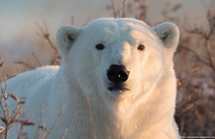 Eye-to-eye with a polar bear.