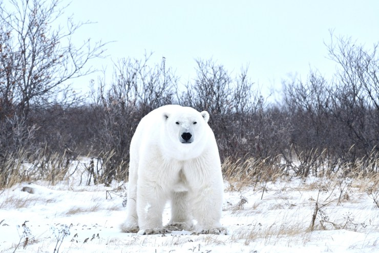 First sighting of a polar bear at ground level.