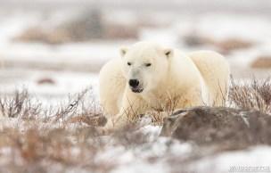 polarbearinlightfallingsnow