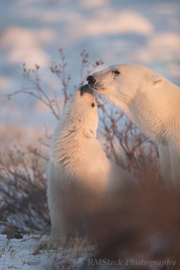 polarbearmomandcubtendermoment