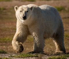 PolarBearWalkingAnnFulcher