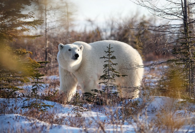 Polar bear captured on a smartphone at Dymond Lake Ecolodge by Dax Justin.