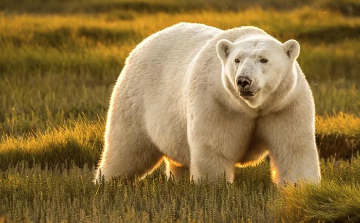 Polar bear in sunlight at Nanuk. Ann Fulcher photo. Click image for more.