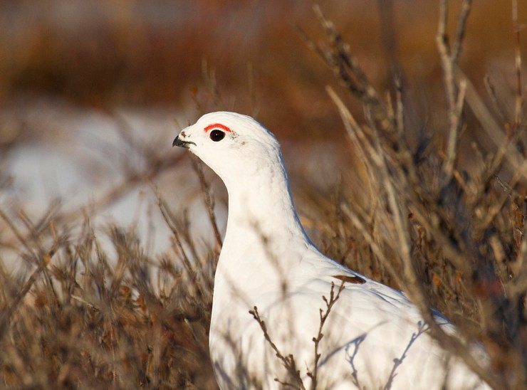 Ptarmigan in the willows at Seal River.