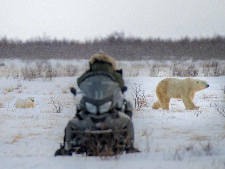 Mom and two cubs photographed on 2018 Polar Bear Den Emergence Quest. Jad Davenport photo.