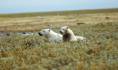 polarbearsfishingtripnanuk