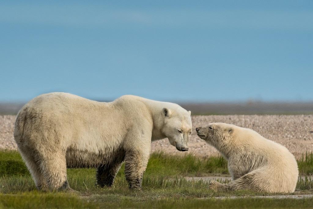 3rd Place Polar Bears - Christie Allen