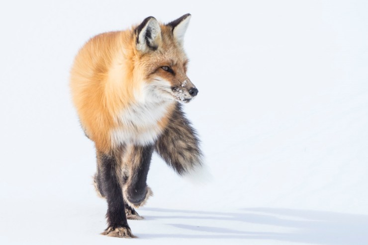 Red foxes – and silver foxes – were popular animals to photograph beside the lodge.