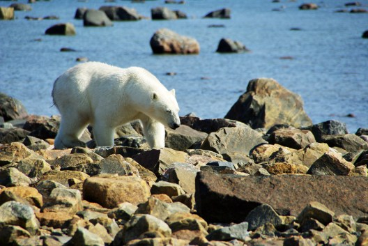 Polar bear wanders by us at Seal River. photo by Catherine Aryelle.