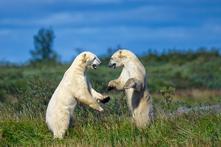 Polar bears sparring during the summer at Seal River Heritage Lodge. Jad Davenport photo.
