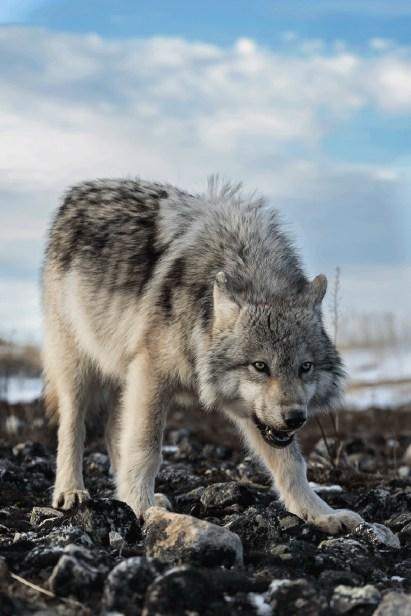 WolfHudsonBayCharlesGlatzer