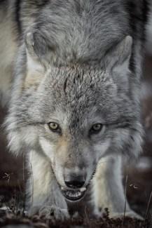 WolfSealRiverHeritageLodgeGlatzer