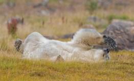 polarbearingrassnanukglatzer