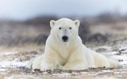 polarbearposeglatzer