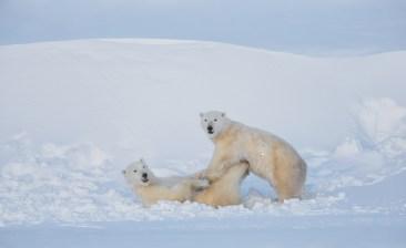 polarbears2sealriverglatzer