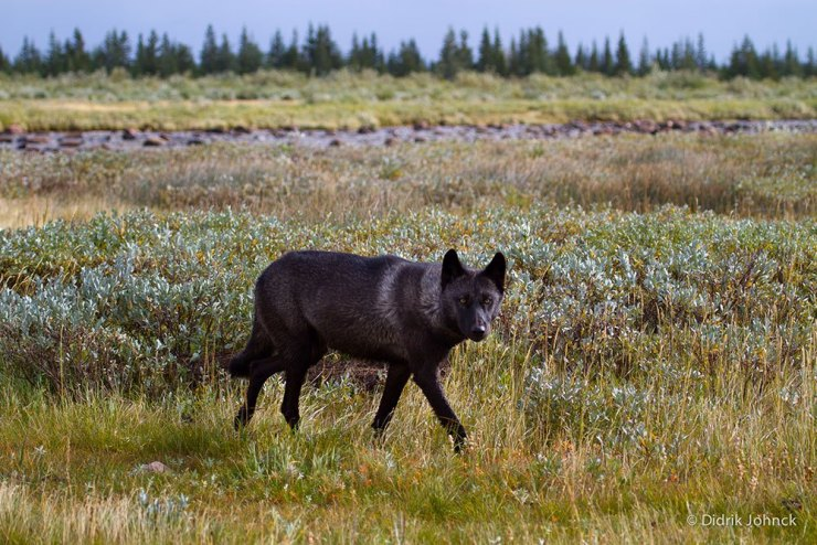 Wolf at Nanuk Polar Bear Lodge. Didrik Johnck photo.