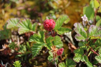 Cloudberries at Seal River Heritage Lodge. Laura Montross photo.