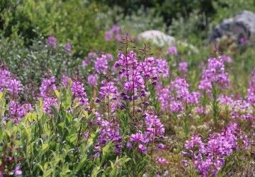 Fireweed at Seal River Heritage Lodge. Laura Montross photo.